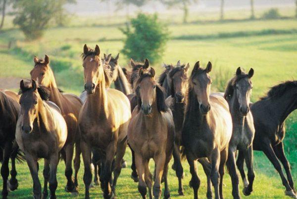 creer-un-troupeau-chevaux-600x403 Créer un troupeau et gérer l'évolution du groupe