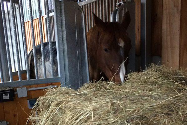distributeur-automatique-fourrage-3-600x403 Quels chevaux utilisent le distributeur de fourrage individuel ?