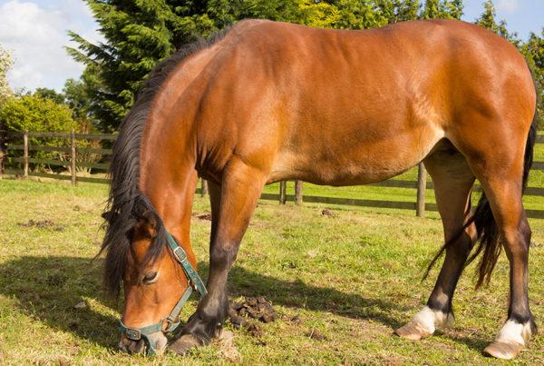 poney-pré-600x403 Coup de sang, fourbure et pathologies musculaires : les risques liés au confinement